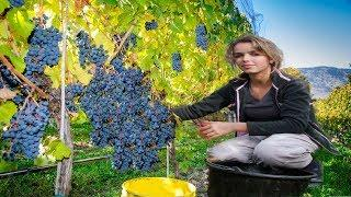 How to harvest Wine Grape - Amazing Grape Factory - Wine Making Processing