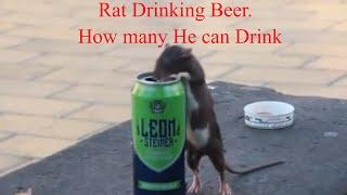 Rat Drinking Beer. See how many?