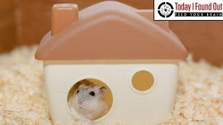 How Many Hamsters Do You Need to Power a House and Would This Be Cheaper Than Coal Power?
