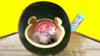 Hamsters Watermelon House - Two Cute Hamsters in Their Play House