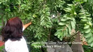 What to do when life give you lot of Guavas ? Guava Wine || Healthy Drink ||