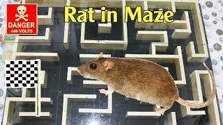 Electric Rat Trap in Maze | Giant Maze for Mouse/rat Trap ???? Can they EXIT ??? House Mice