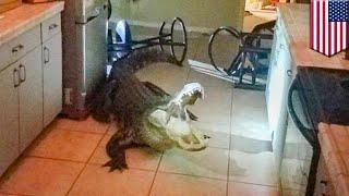 """11-foot alligator breaks into home and gets """"the good stuff"""""""