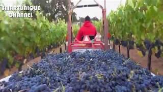 PROSES PEMBUATAN ANGGUR WINE DI AMERIKA//HOWS TO MADE WINE