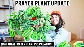 House Plant Update - Prayer Plant Propagation 2019