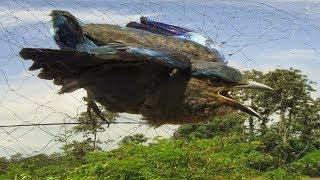 Wow! Awesome Quick Bird Trap Using Bamboo Palm Wine & Nets That Work 100%