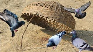 How To make Trap - Pigeon - Trap - Catch Pigeons - Best Bird Trap