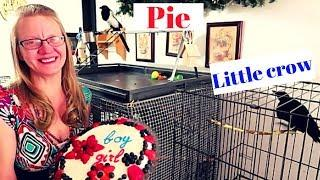 The results video for Pie and Little Crow