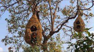 How to build House Animal Nests Flower Grass  #Primitive_Copy / Primitive building